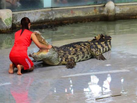 鳄鱼表演出租:如何做好鳄鱼饲料的养殖