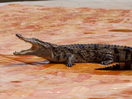 鳄鱼表演出租解答如何科学检查鳄鱼的觅食情况