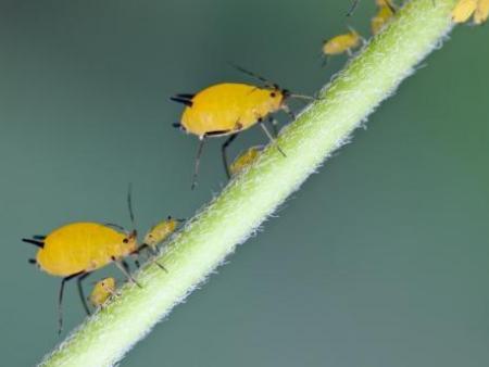 蚜虫触角对碾死蚜虫气味
