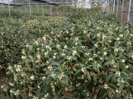 山东桂花树