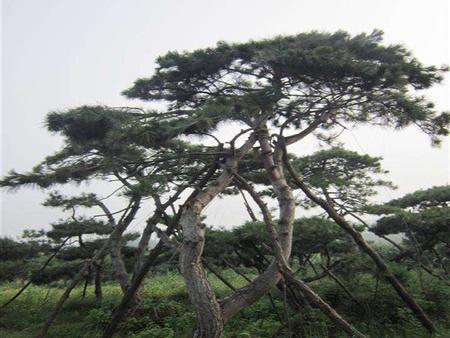 景松在种植前需要消毒吗?