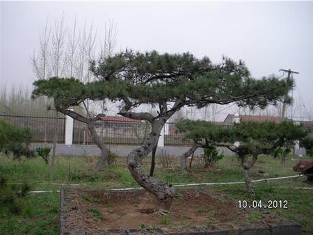 河南:被转让的土地不再种植,造型黑松将被重新种植
