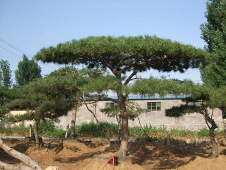"""景松是我国特产的珍贵树种,道路绿化""""小能手"""""""