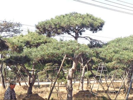 彤晖景松园林跟大家谈谈如何提高造型油松苗木的成活率