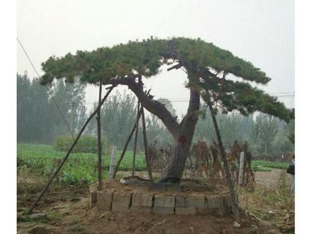 莱芜景观松恢复方法