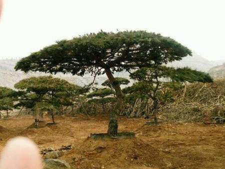 树木都是互通的,泰安平顶松生长的关键因素是什么?