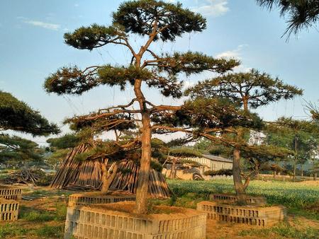 如何防止景观松发生晒伤及患得枯萎病