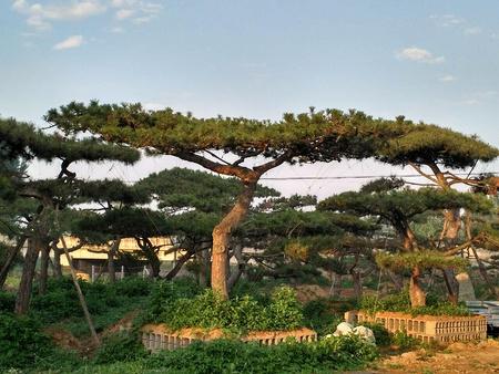 河南林州投资150万美元,完成平顶松绿化面积1000多亩