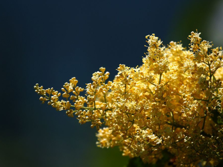 黄金丁香的特征有哪些