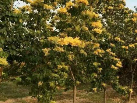 黄金丁香的繁殖方法