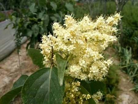 黄金丁香树为什么被佛教信徒称为菩提树?