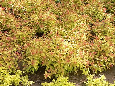 金焰繡線菊