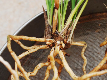 冬季低温,别忘了给作物养根!