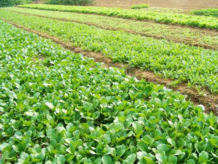 蔬菜喷施叶面肥的注意事项
