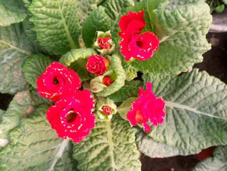 玫瑰报春花(红)