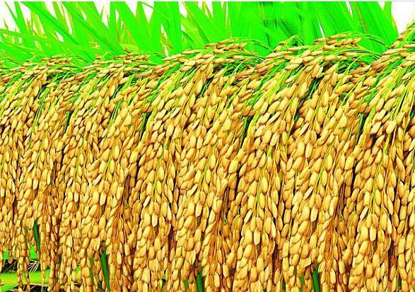 海茵牌《生物有機種衣劑》對水稻拌種增產作用解析