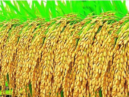 贝博手机牌《生物有机贝博足彩app》对水稻拌种增产作用解析