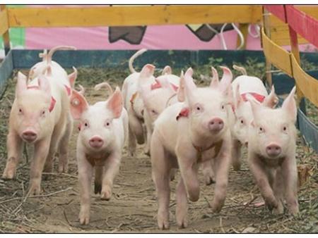 冬季新生仔豬死亡率高的元兇