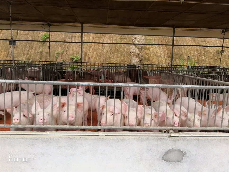 猪传染性胸膜肺炎与猪肺疫混合感染的防控