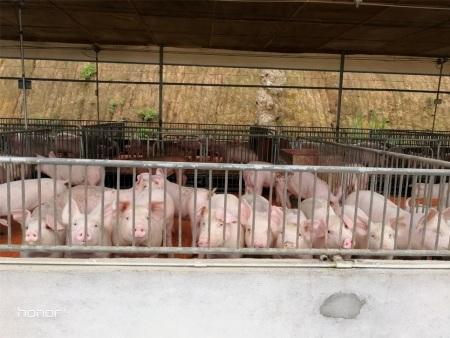 豬傳染性胸膜肺炎與豬肺疫混合感染的防控