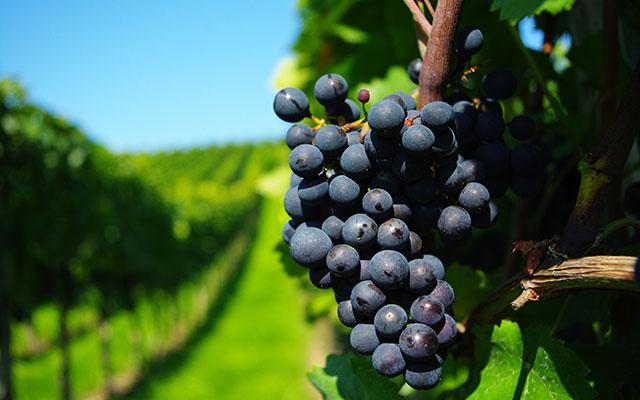 6881554-vineyard-wallpaper-插图1.jpg