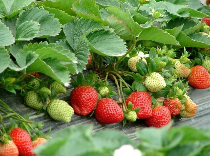 草莓温湿度监控