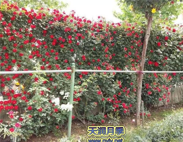 藤本月季花墙