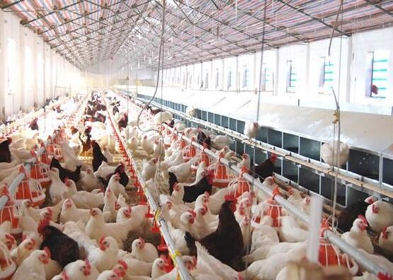 鸡舍内的有害气体危害