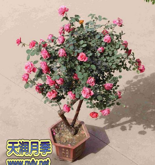 盆栽月季0.jpg