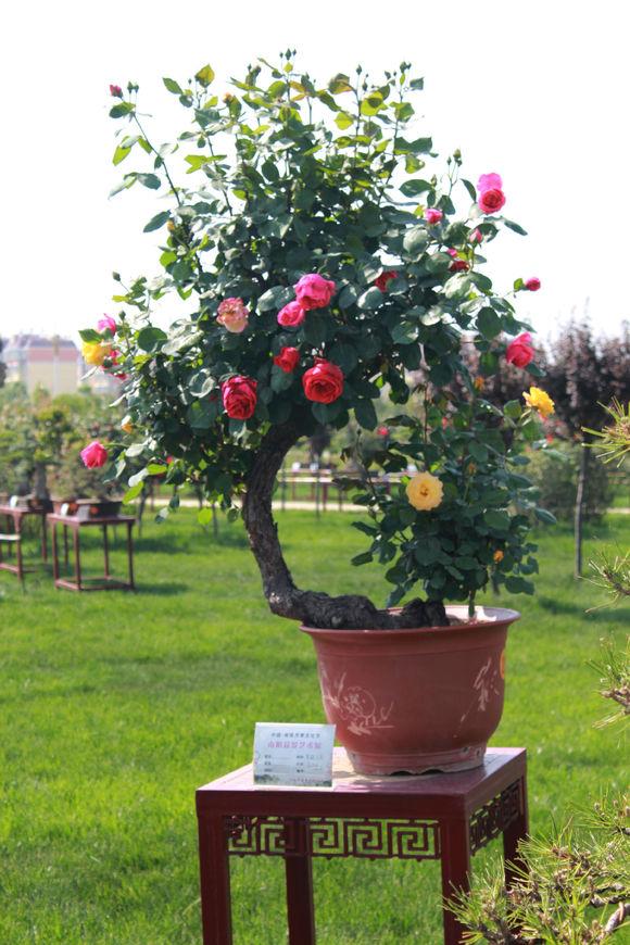 古桩月季盆栽盆景