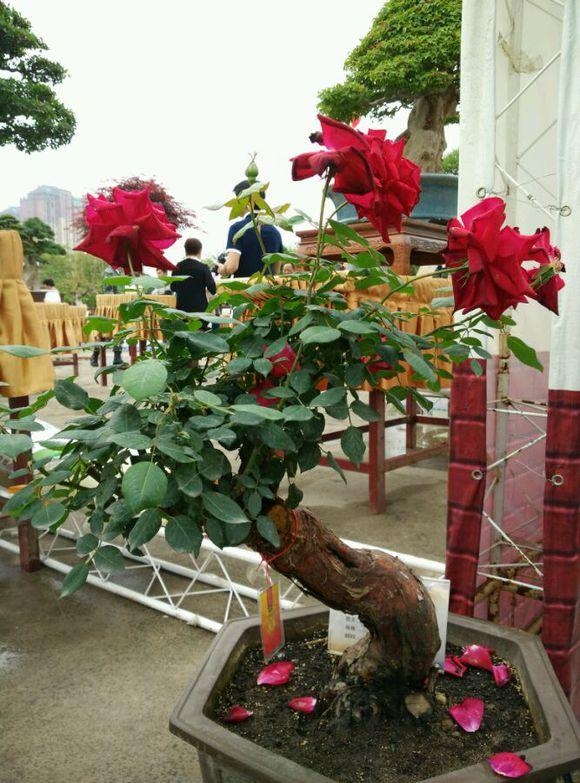 古桩盆栽月季