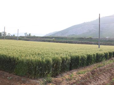 2010小麦 042.jpg