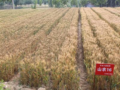 2010小麦 095.jpg