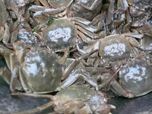 盤錦野生河蟹
