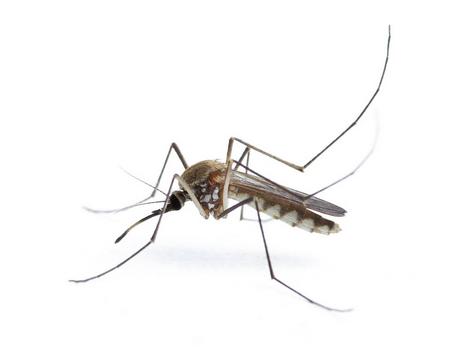 蚊子.png