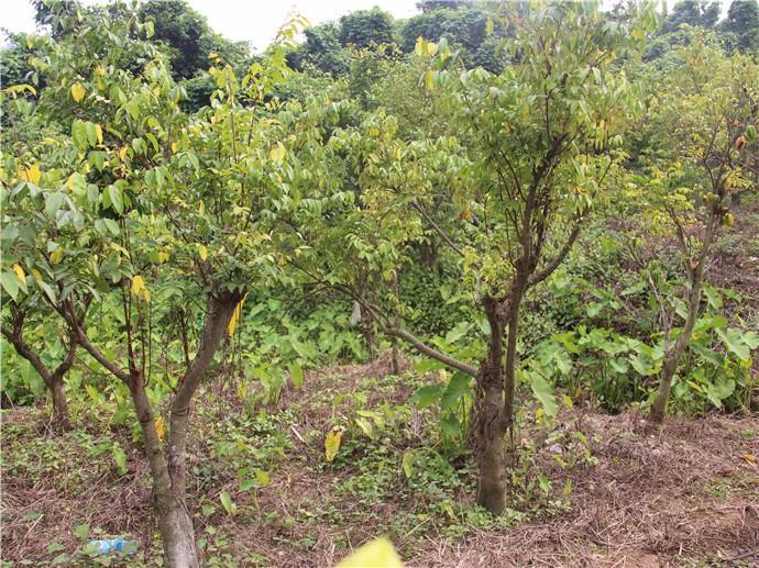 厦门水果采摘--绿色杨桃|绿色杨桃-厦门雷公山农业休闲山庄云顶炸金花