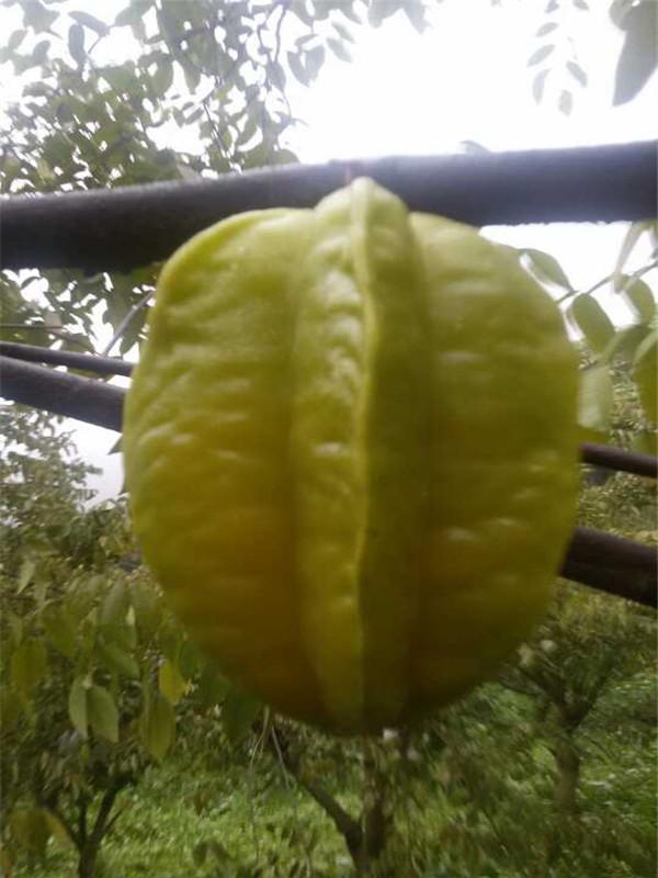 厦门水果采摘--绿色杨桃