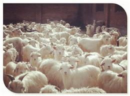 辽宁绒山羊
