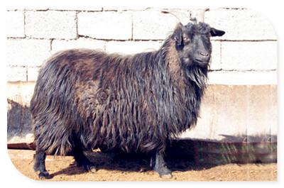 辽宁牙山黑绒山羊