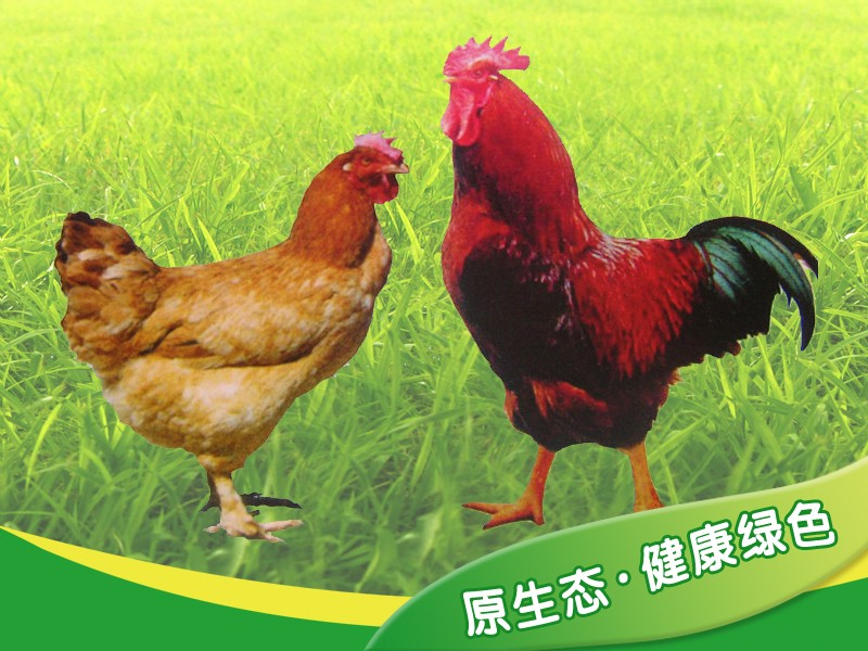 原始鸡 02.jpg