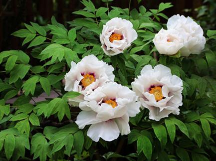 紫斑牡丹種植|最新苗木推薦-青海沙龙国际sa36農林科技開發有限公司
