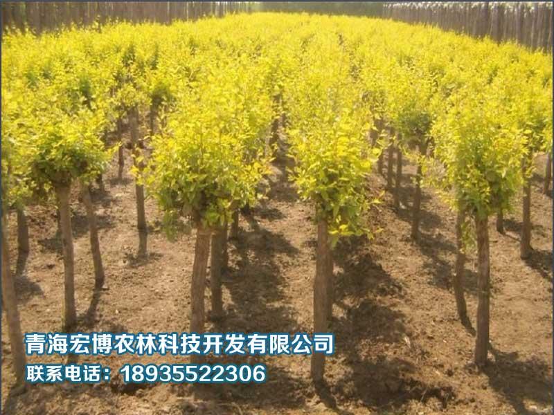青海金葉榆種植|熱銷苗木推薦-青海沙龙国际sa36農林科技開發有限公司