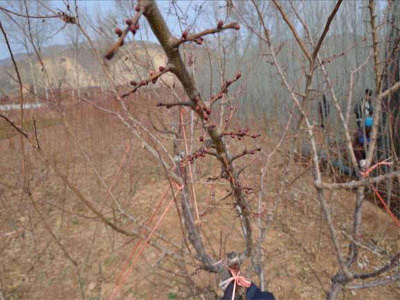 樹上幹杏各生長發育時期2.jpg
