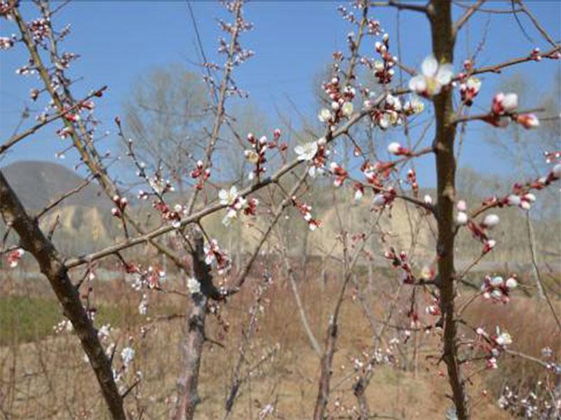 樹上幹杏各生長發育時期3.jpg