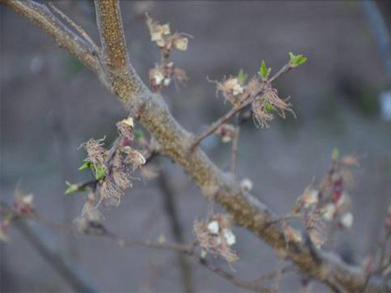 樹上幹杏各生長發育時期4.jpg