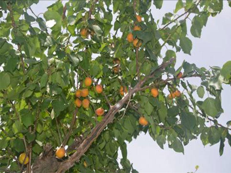 樹上幹杏各生長發育時期5.jpg