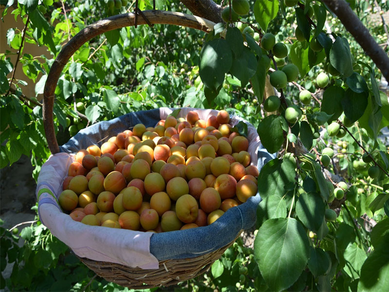 樹上幹杏各生長發育時期6.jpg
