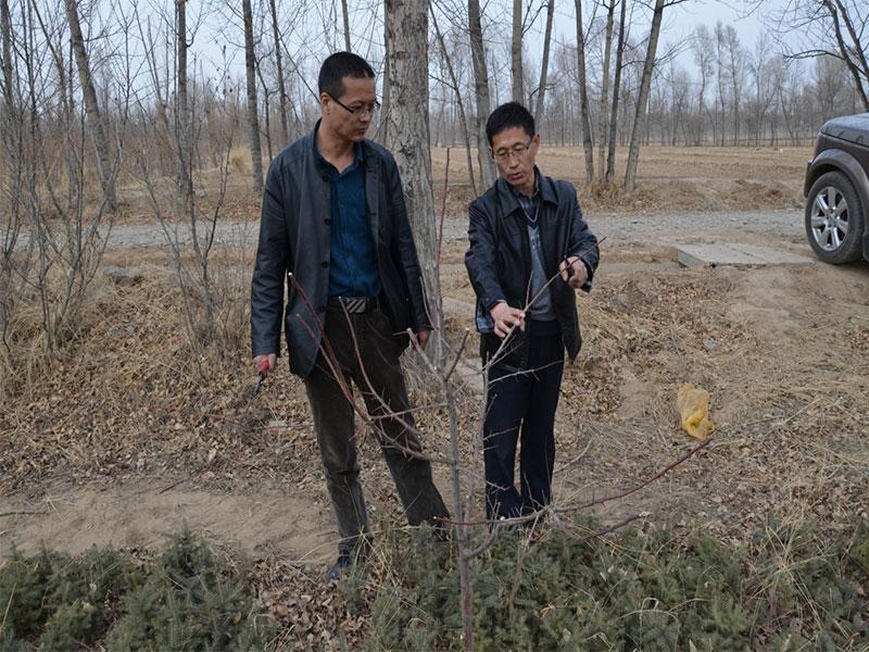 海南州共和縣鐵蓋鄉馬漢台村樹上幹杏整形修剪.jpg