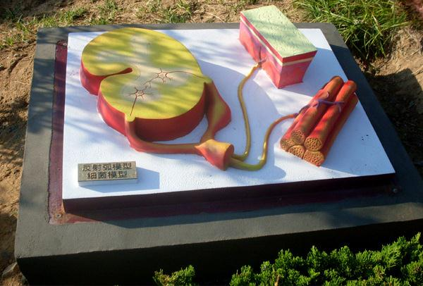 反射弧模型-細菌模型.jpg