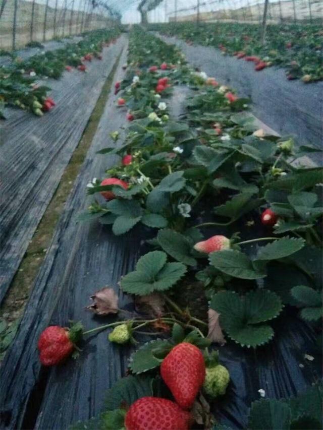 草莓3.jpg